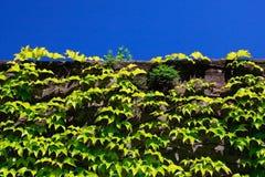 стена растущего плюща каменная Стоковое фото RF