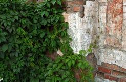 Стена с плющом стоковое фото rf