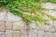 Стена утеса с разрешением проползать плюща Стоковое Фото
