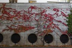 Стена цемента с красными осенними заводами лозы, растя на ей в urba стоковые изображения