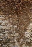 Стена Antient каменная при высушенный мертвый плющ взбираясь на ем Стоковые Фотографии RF