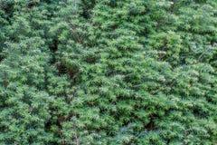 Стена Juniperus communis Стоковые Фото