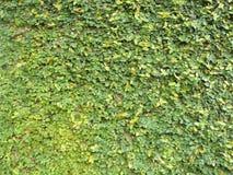 стена pumila фикуса Стоковые Изображения RF