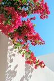 стена spectabilis бугинвилии Стоковые Изображения