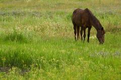 степь лошади Стоковая Фотография