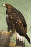степь орла Стоковая Фотография RF