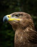 степь rapax prey nipalensis орла птицы aquila самая лучшая Стоковое фото RF