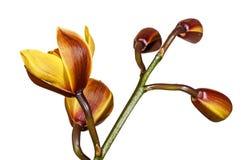 Стержень 5 бутонов на заводе орхидеи Cymbidium Стоковая Фотография RF