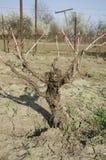Стержень виноградника Стоковое Фото