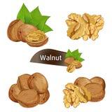 Стержень грецкого ореха в ореховой скорлупе при установленные листья иллюстрация вектора