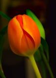Стержень зеленого цвета весны предпосылки абстрактных тюльпанов красный мягкий Стоковое Изображение