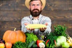 Стержень кукурузного початка владением фермера или предпосылка маиса деревянная Фермер представляя свежие овощи Фермер с домороще стоковые фото