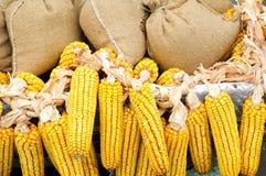Стержень кукурузного початка с полными сумками близрасположенными Стоковая Фотография