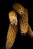 Стержень кукурузного початка с черной предпосылкой Стоковое фото RF