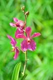 Стержень орхидей покрашенных пурпуром стоковые фотографии rf