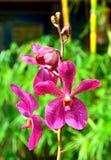 Стержень орхидей покрашенных пурпуром стоковое изображение rf