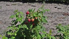 Стержень поленики с несколькими красных плодоовощей акции видеоматериалы
