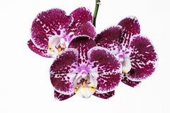 Стержень пурпура испещрянный и запятнанный орхидеи Ветвь цветка сирени Стог фокуса цветения фаленопсиса зацветая Стоковая Фотография