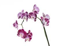 Стержень пурпура испещрянный и запятнанный орхидеи Ветвь цветка сирени Стог фокуса цветения фаленопсиса зацветая Стоковые Изображения RF