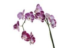 Стержень пурпура испещрянный и запятнанный орхидеи Ветвь цветка сирени Стог фокуса цветения фаленопсиса зацветая Стоковые Фото