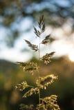 Стержень травы Стоковое Фото
