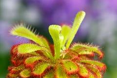 стержень цветка drosera carniv щетинок aliciae Стоковая Фотография RF