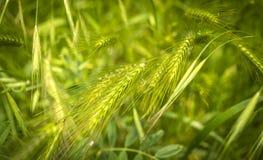 Стержни зеленой травы Стоковое Изображение RF