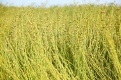 Стержни и зерна льна Стоковые Изображения
