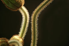 стержни мака Стоковые Фото