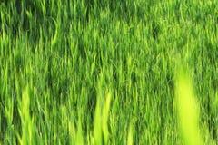 Стержни от зеленых тростников Стоковые Фото