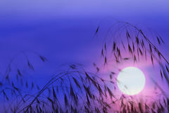Стержни травы на зоре в красном солнце Стоковое Изображение RF