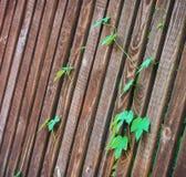 Стержни хмелей на деревянной загородке Стоковое Фото