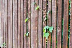 Стержни хмелей на деревянной загородке Стоковая Фотография RF