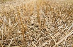 Стерня пшеницы Стоковая Фотография