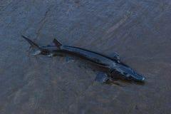 Стерляжина. Большие рыбы в Дунае. стоковые изображения