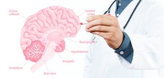 стетоскоп дег микстуры лож принципиальной схемы установленный Доктор и анатомия человеческого мозга Стоковые Фото