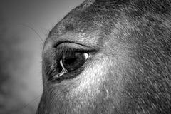Стилизованный черно-белый конец вверх лошади стоковая фотография