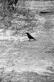 Стильное готическое черно-белое фото: ворона на пути покрытом с снегом и сушит листья, в парке Стоковые Изображения