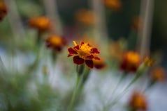 Стиль красных оранжевых цветков ретро снял с отмелым Dept поля стоковая фотография rf