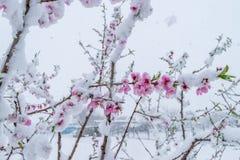 Стихийное бедствие снега во время цветеня деревьев и сбора стоковое изображение