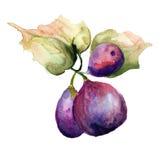 Стилизованная иллюстрация смокв акварели Стоковые Изображения