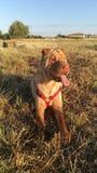 Стиль собаки Стоковая Фотография