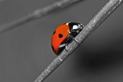 Стиль LadyBug серый! Стоковое Изображение RF