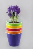 Стог покрашенных цветочных горшков и фиолетового крокуса внутрь Стоковые Фото