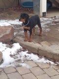 Стоический щенок rottweiler стоковые фотографии rf