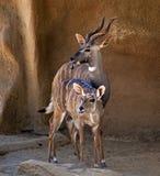 2 антилопы вставляя вне языки Стоковая Фотография RF