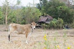 Стойка быка детенышей сольная коричневая на поле Стоковое Изображение