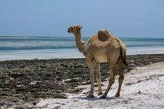 Стойка верблюда на пляже около океана Стоковые Фото