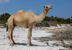 Стойка верблюда на пляже Стоковое Изображение