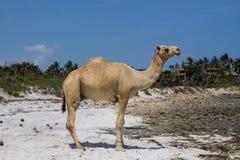 Стойка верблюда на пляже Стоковая Фотография